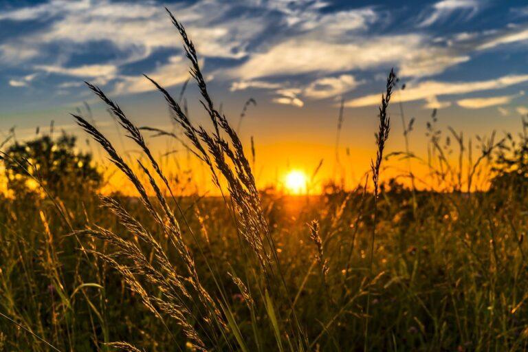 wheat, field, sunset